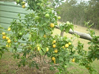 Lemon Tree, Very Pretty