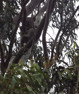Koala Sighting!