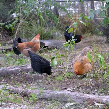 Our Chook Population Explosion