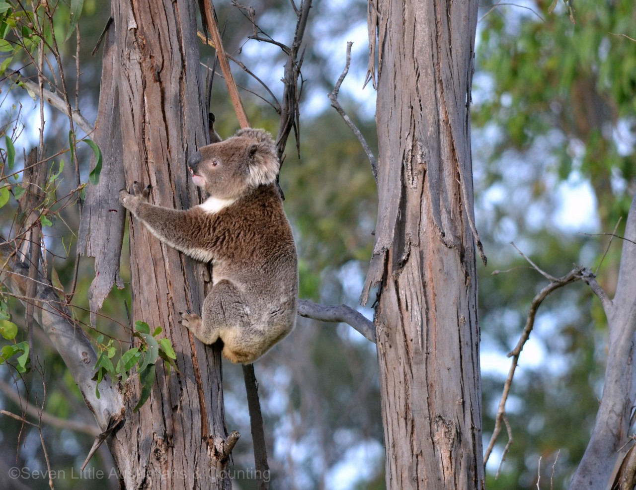 Koala Passing Through