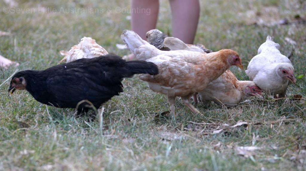 chickens 16