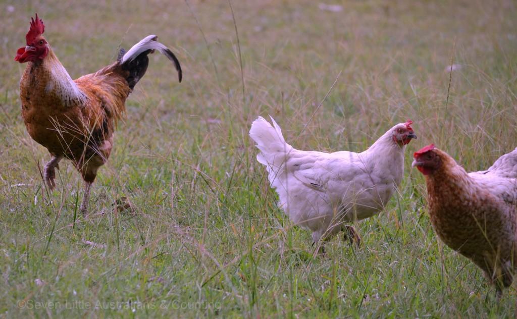 chickens 4