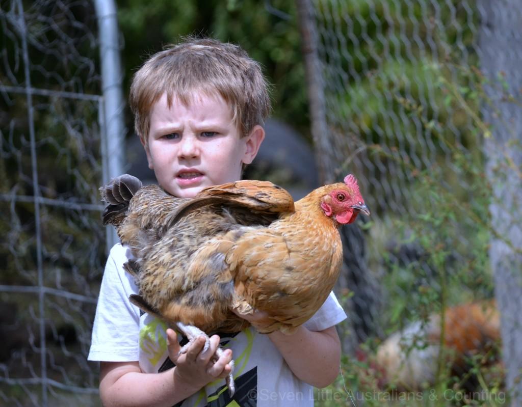 chickens 7